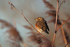 Redwing thrush. Royalty Free Stock Image