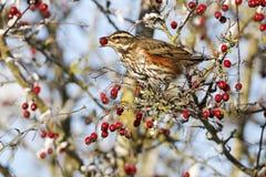 Redwing, Turdus iliacus Zdjęcie Stock