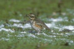 Redwing, Turdus iliacus Fotografia Royalty Free