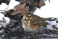 Redwing (Turdus iliacus) Royalty Free Stock Photo