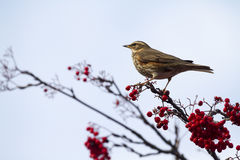 Redwing  (Turdus iliacus) Royalty Free Stock Photos