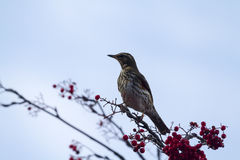 Redwing  (Turdus iliacus) Stock Images