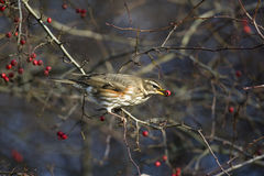 Redwing, Turdus iliacus Stock Photos
