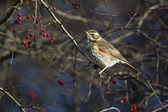 Redwing, Turdus iliacus Royalty Free Stock Photo