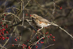 Redwing, Turdus iliacus Royalty Free Stock Photography