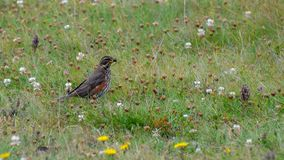 Turdus iliacus - the redwing, Iceland, August 2018. The redwing Turdus iliacus is a bird in the thrush family, Turdidae, native to Europe and Asia, slightly stock photo