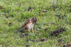 Redwing (Turdus iliacus) with earthworm Stock Photography
