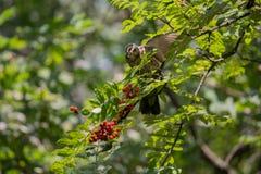 Redwing feeding on Rowan tree berrie. Redwing Turdus iliacus feeding on Rowan tree berrie royalty free stock photos