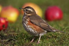 Redwing - Turdus iliacus Royalty Free Stock Image