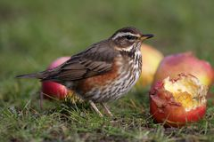 Redwing - Turdus iliacus Stock Photography