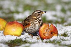 Redwing - Turdus iliacus Royalty Free Stock Photos
