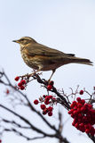 Redwing  (Turdus iliacus) Royalty Free Stock Photography