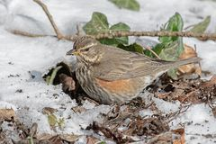 RedWing Royalty Free Stock Photography