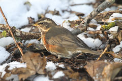 A Redwing Turdus iliacus searching for food under the snow and leaf litter. Stock Photos