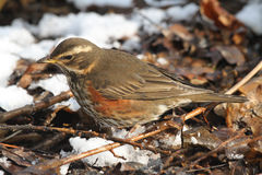 A Redwing Turdus iliacus searching for food under the snow and leaf litter. Royalty Free Stock Photos