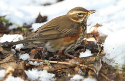 A Redwing Turdus iliacus searching for food under the snow and leaf litter. Royalty Free Stock Image