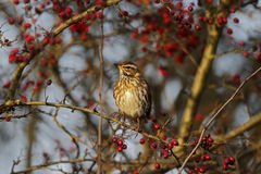 Redwing, Turdus iliacus Royalty Free Stock Image