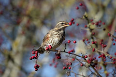 Redwing, Turdus iliacus Stock Photo