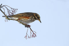 Redwing, Turdus iliacus Royalty Free Stock Images