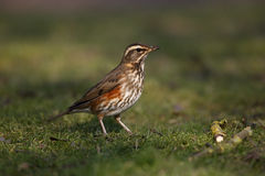 Redwing, Turdus iliacus Stock Images