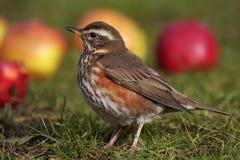 Redwing - Turdusiliacus Royaltyfri Bild