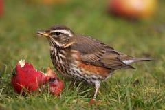 Redwing - Turdusiliacus Arkivfoto