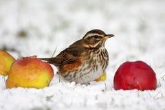 Redwing - Turdusiliacus Fotografering för Bildbyråer