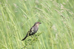 Redwing in weeds Stock Photography