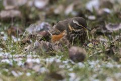 Redwing Tirdus iliacus. A redwing on a winterly meadow  is searching for fodder Royalty Free Stock Image