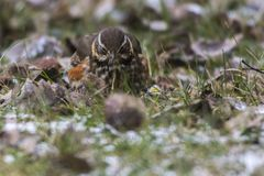 Redwing Tirdus iliacus. A redwing on a winterly meadow  is searching for fodder Royalty Free Stock Images