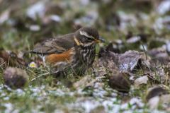 Redwing Tirdus iliacus. A redwing on a winterly meadow  is searching for fodder Stock Photo