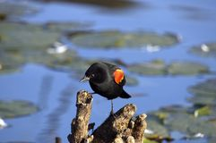 Redwinged Blackbird. In a marsh royalty free stock photos