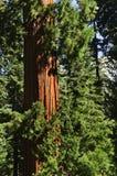 redwood δέντρα στοκ εικόνες