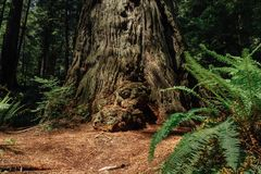 Redwood εθνικό και κρατικά πάρκα Στοκ φωτογραφίες με δικαίωμα ελεύθερης χρήσης