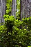 redwood листва Стоковые Фотографии RF