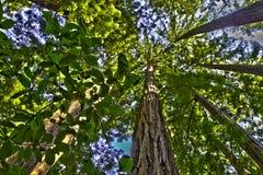 redwood пущи сени Стоковое Фото