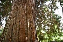 redwood Stock Afbeelding