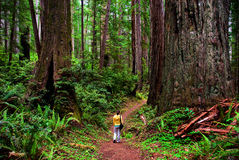 Redwood Royalty Free Stock Photos