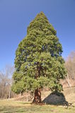 Redwood Fotos de Stock