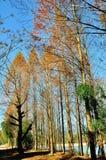 redwood Στοκ φωτογραφία με δικαίωμα ελεύθερης χρήσης