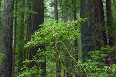 Redwood Fotos de Stock Royalty Free