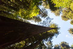 Redwood Canopy Royalty Free Stock Photography