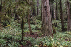 Redwood Cedar Forest. The redwood cedar forests of Northern California Royalty Free Stock Photo