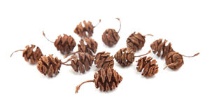 Redwood cones Royalty Free Stock Photos