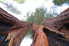 Redwood Couple Royalty Free Stock Photography