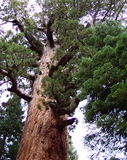 Redwood del gigante dell'orso grigio Fotografia Stock Libera da Diritti