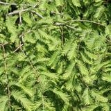 Redwood di alba, glyptostroboides di Metasequoia Fotografia Stock Libera da Diritti