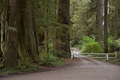 Redwood droga Fotografia Stock
