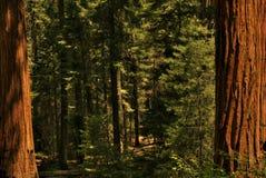 Redwood drzewa 0119 Zdjęcia Royalty Free