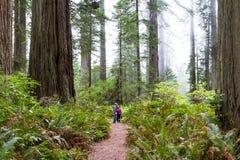 Redwood drzewa, Kalifornia Obrazy Stock